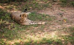Afrikaanse jachtluipaarden in het park van Masai Mara in Kenia Stock Afbeeldingen