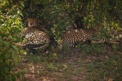 Afrikaanse jachtluipaarden in het park van Masai Mara in Kenia Royalty-vrije Stock Fotografie