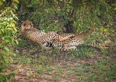 Afrikaanse jachtluipaarden in het park van Masai Mara in Kenia Royalty-vrije Stock Afbeeldingen