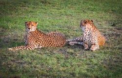 Afrikaanse jachtluipaarden in het park van Masai Mara in Kenia Royalty-vrije Stock Afbeelding