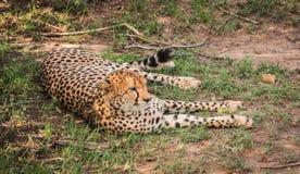 Afrikaanse jachtluipaarden in het park van Masai Mara in Kenia Stock Foto