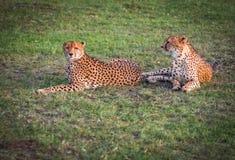 Afrikaanse jachtluipaarden in het park van Masai Mara in Kenia Royalty-vrije Stock Foto