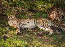 Afrikaanse jachtluipaarden in het park van Masai Mara in Kenia Stock Afbeelding