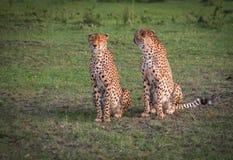 Afrikaanse jachtluipaarden in het park van Masai Mara in Kenia Stock Foto's