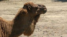 Afrikaanse kameel die in het park eten stock video
