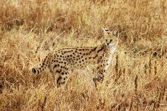 Afrikaanse Kat Serval Royalty-vrije Stock Foto