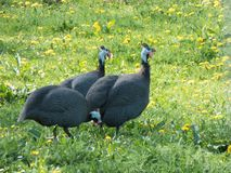 Afrikaanse kippen in een weide royalty-vrije stock fotografie