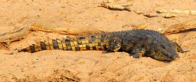 Afrikaanse krokodil 2 stock foto's