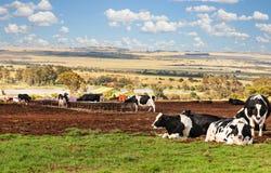 Afrikaanse landbouwbedrijfkoeien die op Th-weide rusten Royalty-vrije Stock Afbeelding