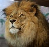 Afrikaanse Leeuw Stock Afbeelding
