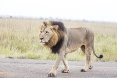 Afrikaanse Leeuw stock afbeeldingen