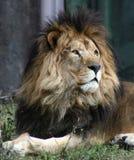Afrikaanse Leeuw Royalty-vrije Stock Foto
