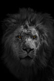 Afrikaanse Leeuw Stock Foto