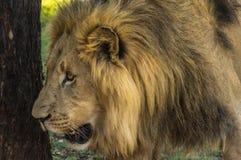 Afrikaanse leeuw Royalty-vrije Stock Foto's