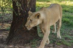 Afrikaanse leeuw Stock Fotografie