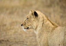 Afrikaanse Leeuw, African Lion, Panthera leo stock photo