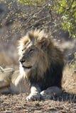Afrikaanse Leeuw, African Lion, Panthera leo stock images