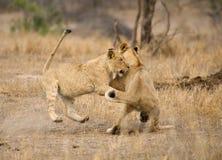 Afrikaanse Leeuw, Afrykański lew, Panthera Leo zdjęcia stock