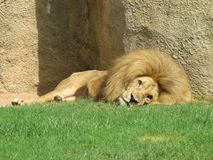 Afrikaanse leeuw, Bioparc Valencia, Spanje Stock Fotografie
