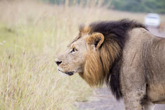 Afrikaanse leeuw in de savanne royalty-vrije stock afbeelding