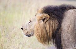 Afrikaanse leeuw in de savanne stock afbeelding
