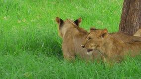 Afrikaanse leeuw dichte omhooggaand stock videobeelden