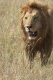 Afrikaanse leeuw die in savanne loopt stock fotografie