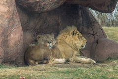 Afrikaanse leeuw en leeuwin Stock Afbeelding