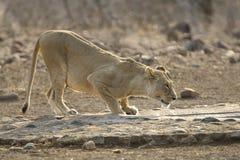Afrikaanse Leeuw, leone africano, panthera Leo fotografia stock libera da diritti