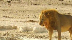 Afrikaanse leeuw Namibië stock video