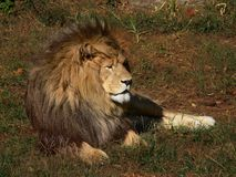 Afrikaanse Leeuw onbeweeglijk stock afbeelding