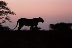 Afrikaanse leeuw, Panthera-leo Royalty-vrije Stock Foto