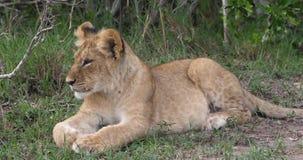 Afrikaanse Leeuw, pantheraleo die, welp, Masai Mara Park in Kenia geeuwen, stock footage