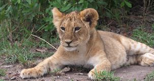 Afrikaanse Leeuw, pantheraleo die, welp, Masai Mara Park in Kenia geeuwen, stock video