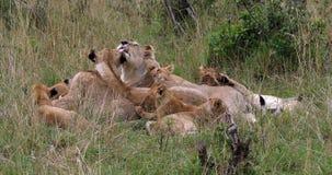 Afrikaanse Leeuw, pantheraleo, Groep met Welpen, Masai Mara Park in Kenia, stock video