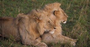 Afrikaanse Leeuw, pantheraleo, Jonge Mannetjes, Masai Mara Park in Kenia, stock footage