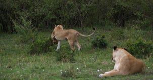Afrikaanse Leeuw, pantheraleo, Moeder en Welp, Masai Mara Park in Kenia, stock footage