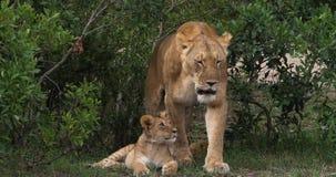 Afrikaanse Leeuw, pantheraleo, Moeder en Welp, Masai Mara Park in Kenia, R stock footage