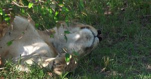 Afrikaanse Leeuw, pantheraleo, Vrouwelijke slaap, Masai Mara Park in Kenia, stock footage
