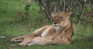 Afrikaanse Leeuw, van pantheraleo, van de Moeder en van de Welp slaap, Masai Mara Park in Kenia, stock footage