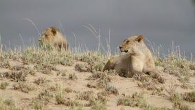 Afrikaanse leeuwen stock videobeelden