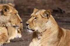 Afrikaanse leeuwin stock foto