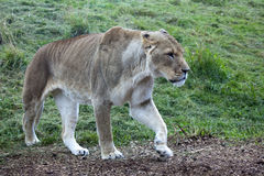 Afrikaanse Leeuwin Royalty-vrije Stock Afbeelding