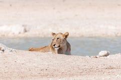 Afrikaanse Leeuwin bij een waterhole in Noordelijk Namibië Royalty-vrije Stock Afbeelding