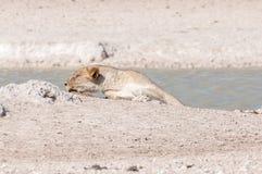 Afrikaanse Leeuwinslaap bij een waterhole in Noordelijk Namibië Stock Foto