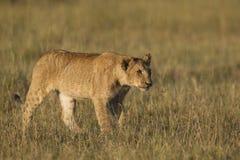 Afrikaanse leeuwwelp Royalty-vrije Stock Foto