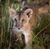 Afrikaanse leeuwwelp in het lange gras stock afbeelding