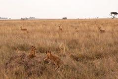Afrikaanse leeuwwelpen op termietheuvel stock afbeelding