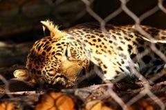 Afrikaanse Luipaard royalty-vrije stock afbeelding