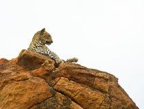 Afrikaanse Luipaard Stock Afbeelding